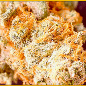 Badass Grass WA legal 502 marijuana