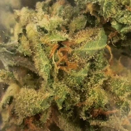 Amnesia Haze marijuana flower at Cascade Herb