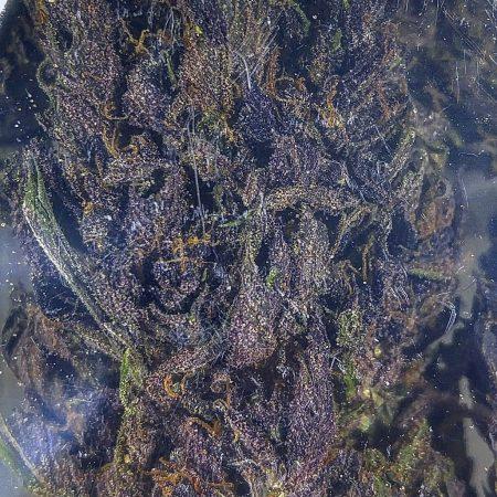 Purple Radness Blue Sky Bellingham marijuana dispensary pot shop